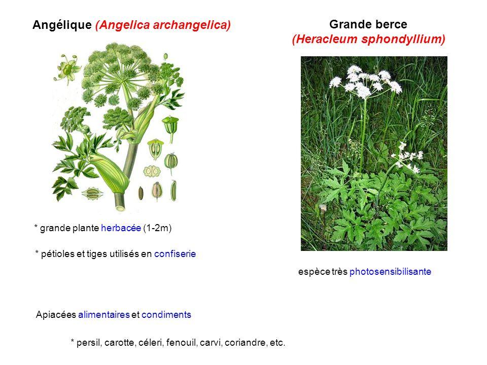 Angélique (Angelica archangelica) Grande berce (Heracleum sphondyllium) espèce très photosensibilisante Apiacées alimentaires et condiments * persil,
