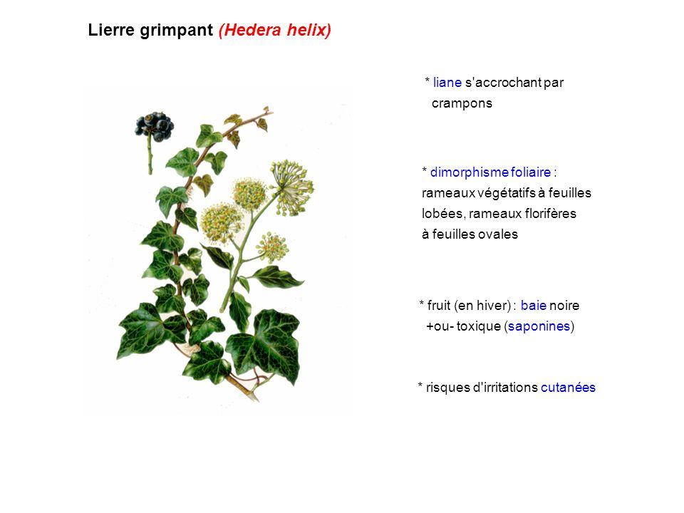 Lierre grimpant (Hedera helix) * liane s'accrochant par crampons * dimorphisme foliaire : rameaux végétatifs à feuilles lobées, rameaux florifères à f