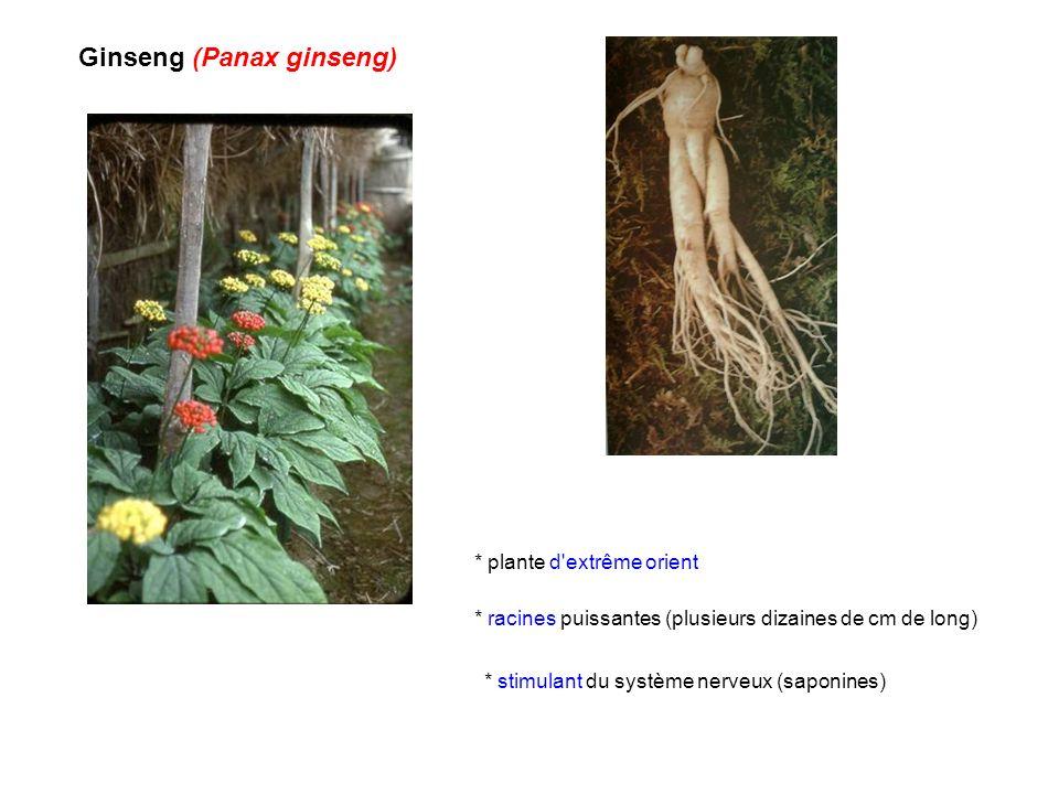 Ginseng (Panax ginseng) * stimulant du système nerveux (saponines) * plante d'extrême orient * racines puissantes (plusieurs dizaines de cm de long)