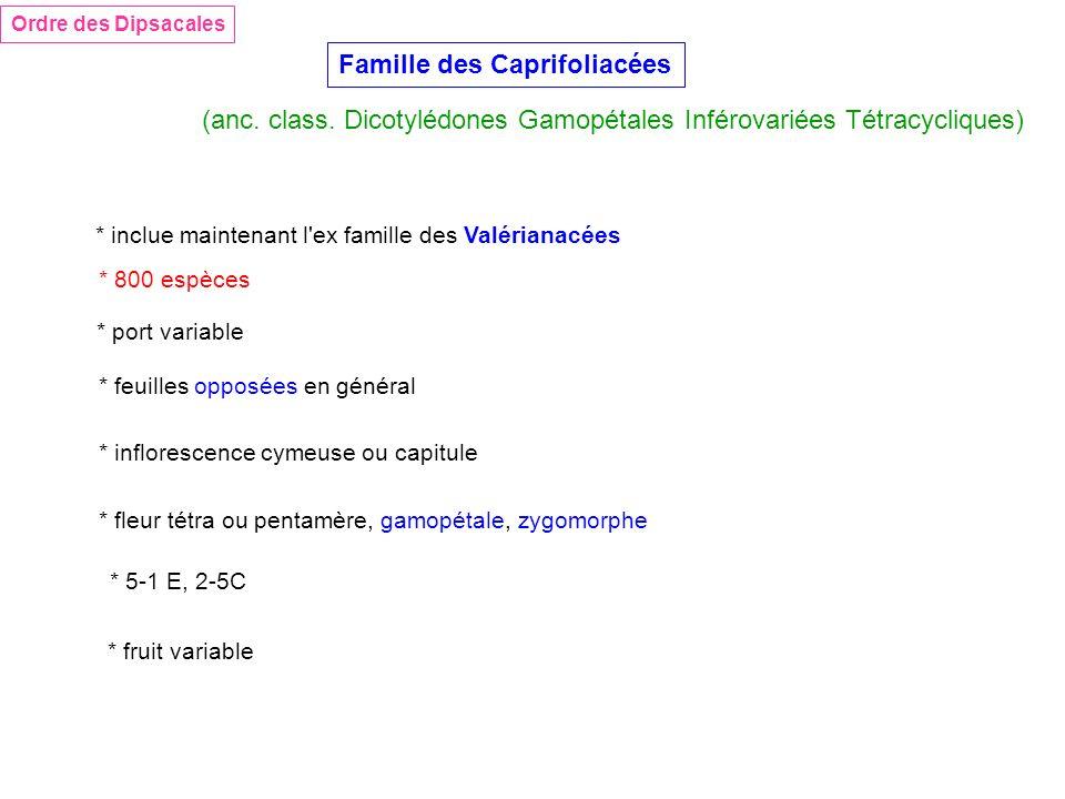 Famille des Caprifoliacées Ordre des Dipsacales (anc. class. Dicotylédones Gamopétales Inférovariées Tétracycliques) * inclue maintenant l'ex famille