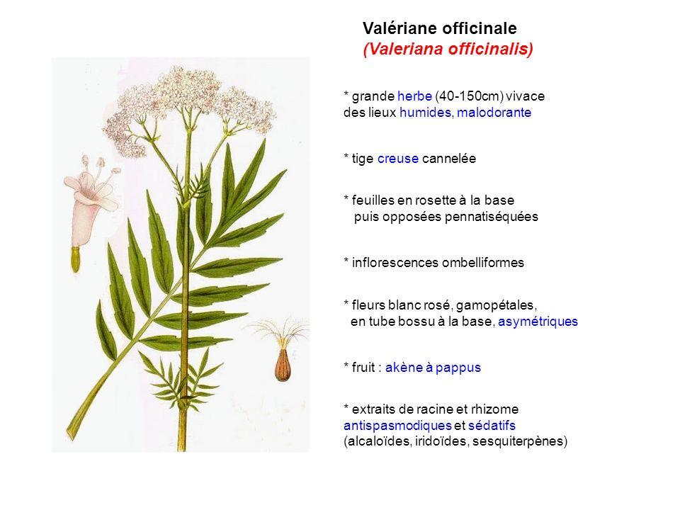 Valériane officinale (Valeriana officinalis) * grande herbe (40-150cm) vivace des lieux humides, malodorante * tige creuse cannelée * feuilles en rose