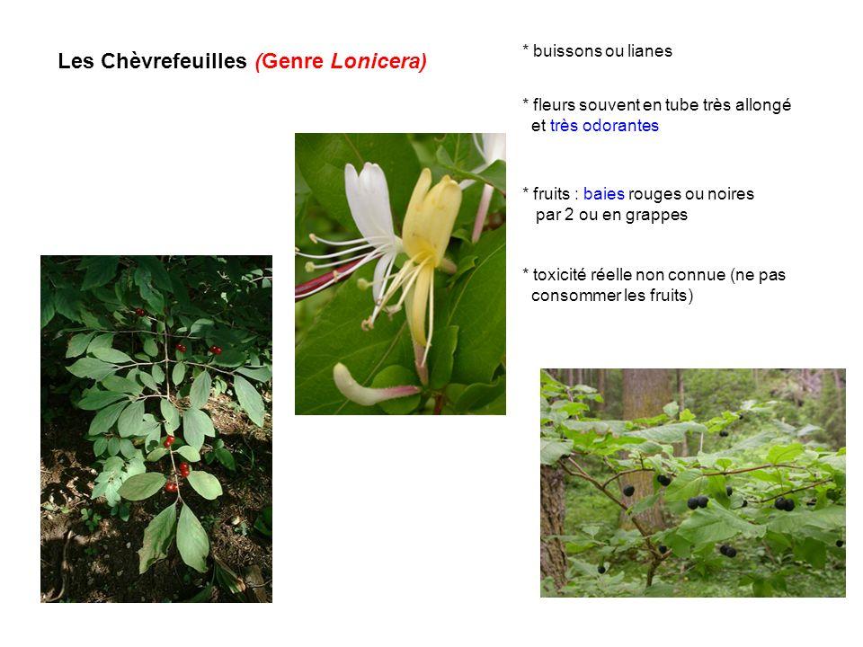 Les Chèvrefeuilles (Genre Lonicera) * buissons ou lianes * fruits : baies rouges ou noires par 2 ou en grappes * fleurs souvent en tube très allongé e