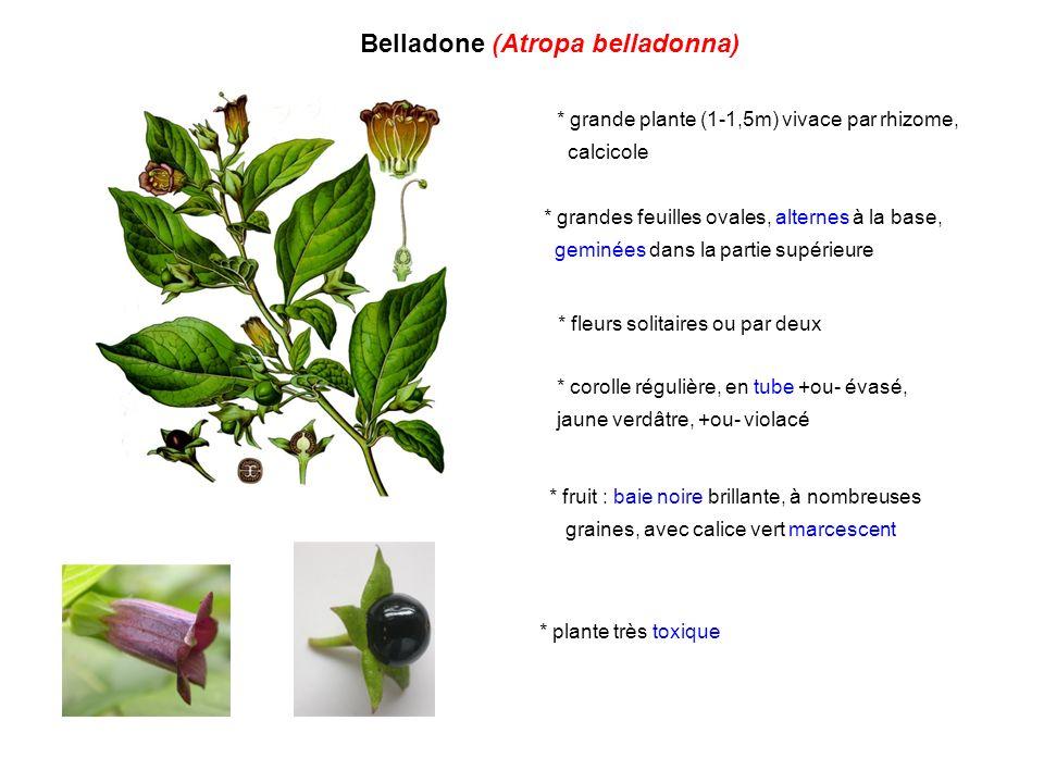 Stramoine, datura (Datura stramonium) * grande plante annuelle (1-2m) * très grandes feuilles dentées irrégulièrement, très malodorantes * grandes fleurs solitaires +ou- dressées (8-10cm), à corolle blanche en entonnoir, terminée par 5 pointes * fruit : grosse capsule ovoïde couverte d épines ( pomme épineuse ), ouverture par 4 valves * plante très toxique * plusieurs variétés de cette espèce et d autres espèces (D.