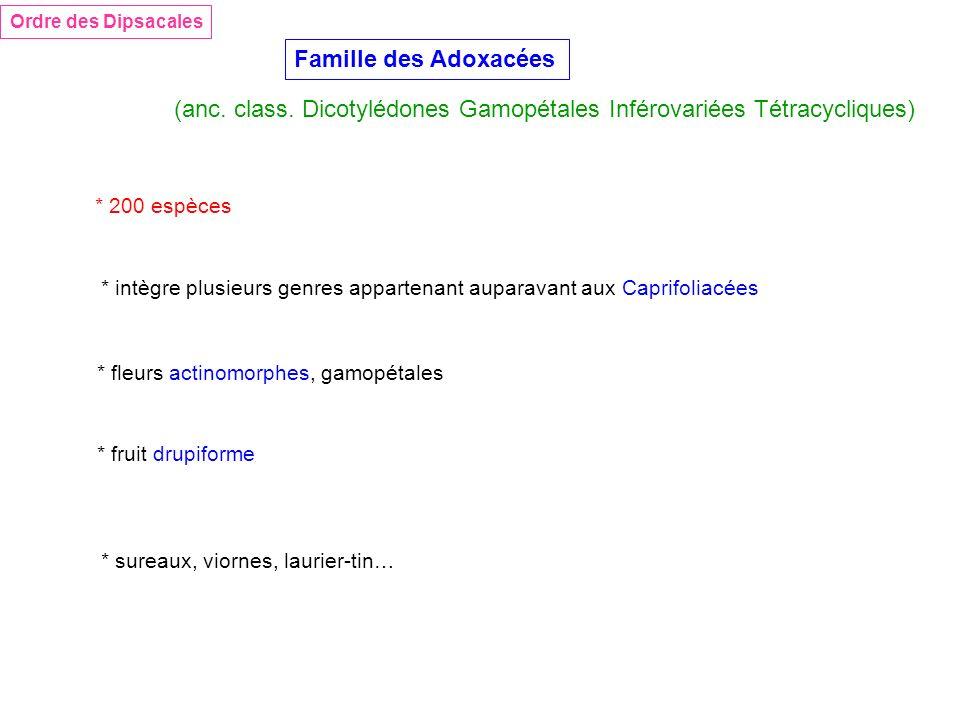 Famille des Adoxacées Ordre des Dipsacales (anc. class. Dicotylédones Gamopétales Inférovariées Tétracycliques) * 200 espèces * fleurs actinomorphes,