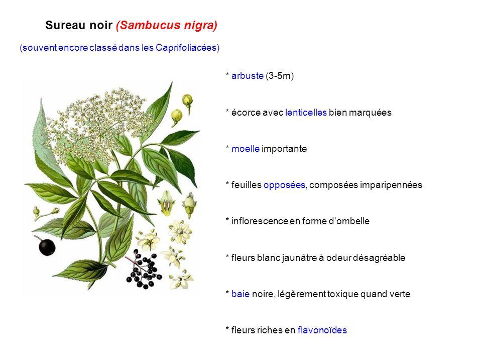 Sureau noir (Sambucus nigra) (souvent encore classé dans les Caprifoliacées) * arbuste (3-5m) * écorce avec lenticelles bien marquées * moelle importa