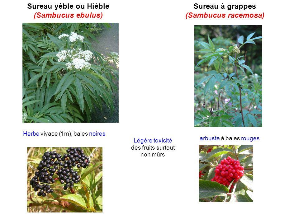 Sureau yèble ou Hièble (Sambucus ebulus) Sureau à grappes (Sambucus racemosa) Herbe vivace (1m), baies noires arbuste à baies rouges Légère toxicité d