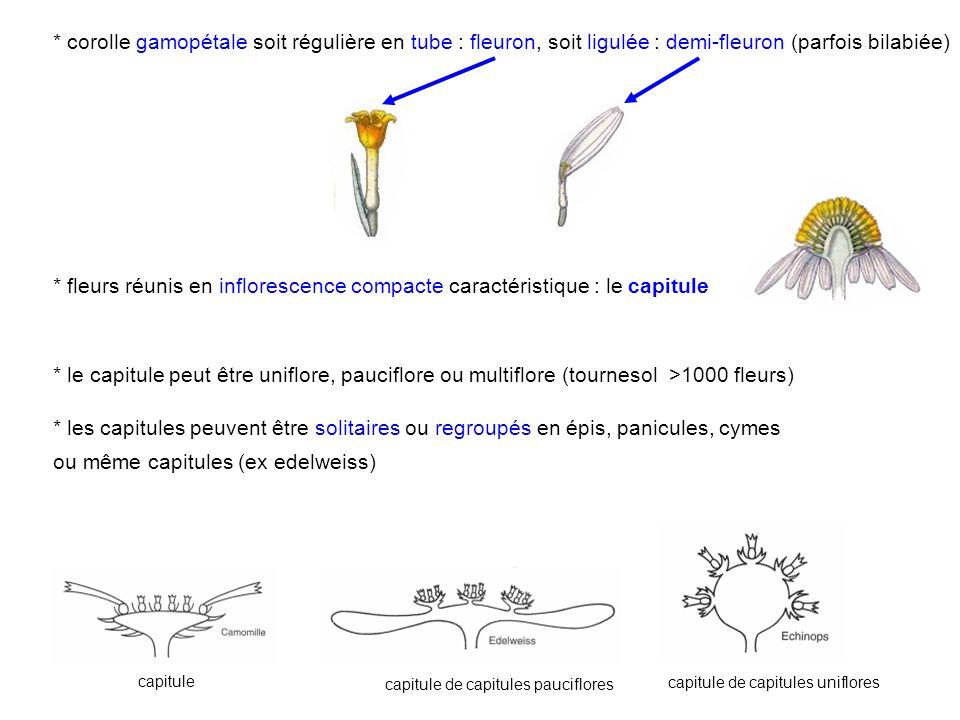* corolle gamopétale soit régulière en tube : fleuron, soit ligulée : demi-fleuron (parfois bilabiée) * fleurs réunis en inflorescence compacte caract