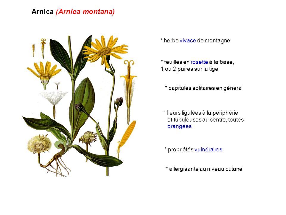 Arnica (Arnica montana) * propriétés vulnéraires * herbe vivace de montagne * feuilles en rosette à la base, 1 ou 2 paires sur la tige * capitules sol