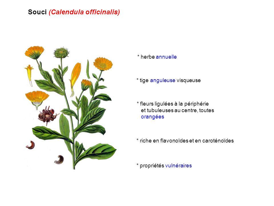 Souci (Calendula officinalis) * propriétés vulnéraires * herbe annuelle * tige anguleuse visqueuse * fleurs ligulées à la périphérie et tubuleuses au