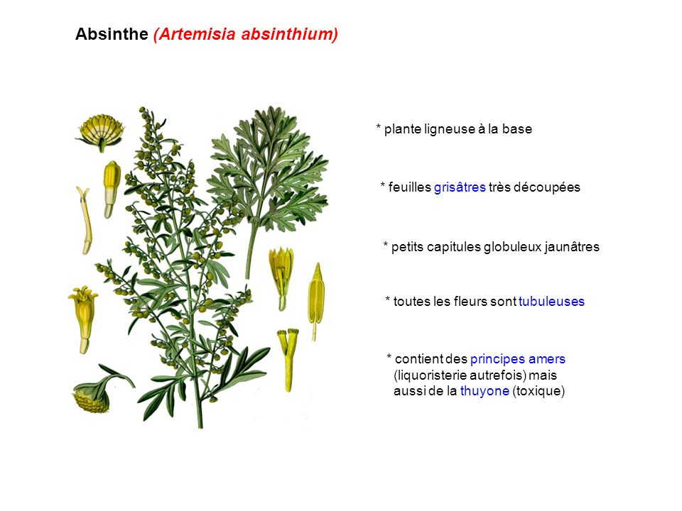 Absinthe (Artemisia absinthium) * plante ligneuse à la base * feuilles grisâtres très découpées * contient des principes amers (liquoristerie autrefoi