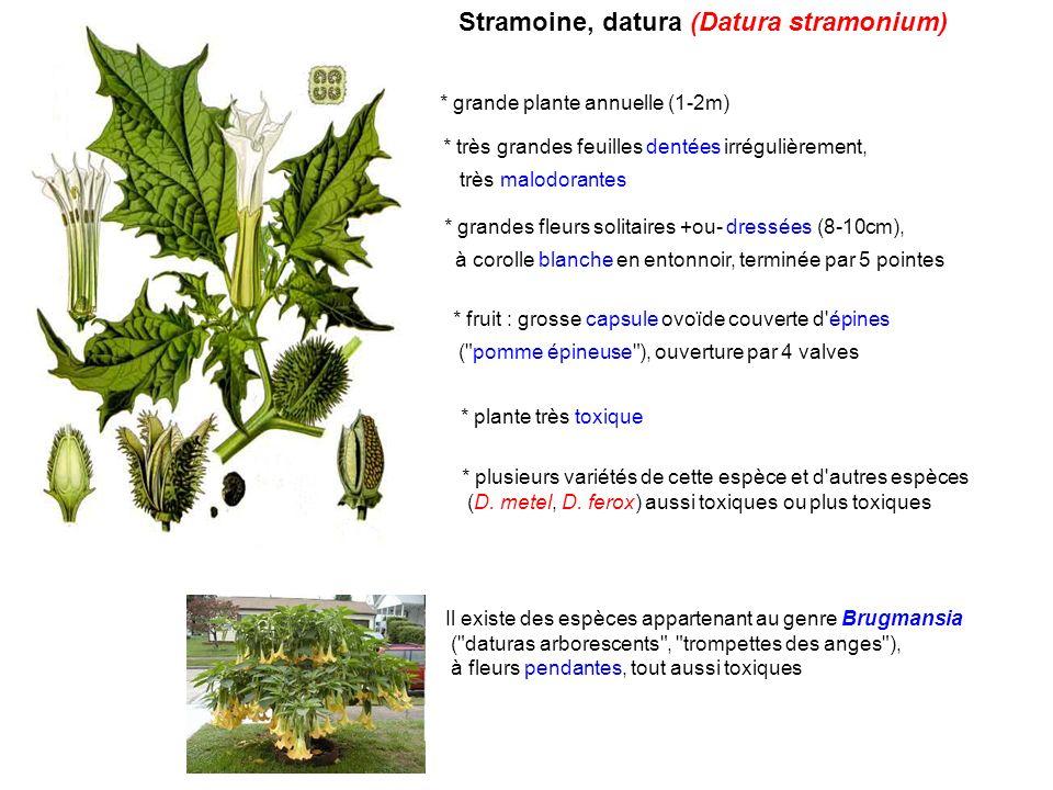 Jusquiame noire (Hyoscyamus niger) * herbe (0,3-0,8m), velue et visqueuse à odeur désagréable, annuelle ou bisannuelle * feuilles molles, très velues, à lobes triangulaires * fleurs par 4-5, à corolle jaunâtre veinée de violet et à fond noirâtre * fruit : capsule (ouverture par couvercle : pixide) enveloppée complètement par calice accrescent * plante très toxique * dans le sud de la France : jusquiame blanche(Hyoscyamus albus) à fleurs entièrement blanc-jaunâtre, plus toxique.