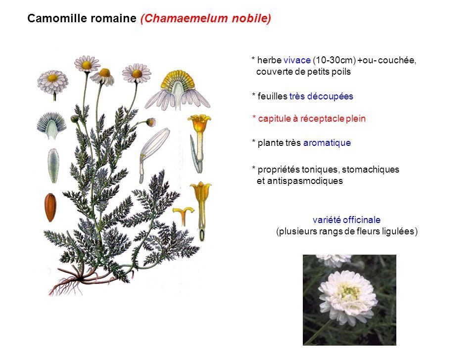 Camomille romaine (Chamaemelum nobile) * feuilles très découpées * capitule à réceptacle plein * plante très aromatique * herbe vivace (10-30cm) +ou-