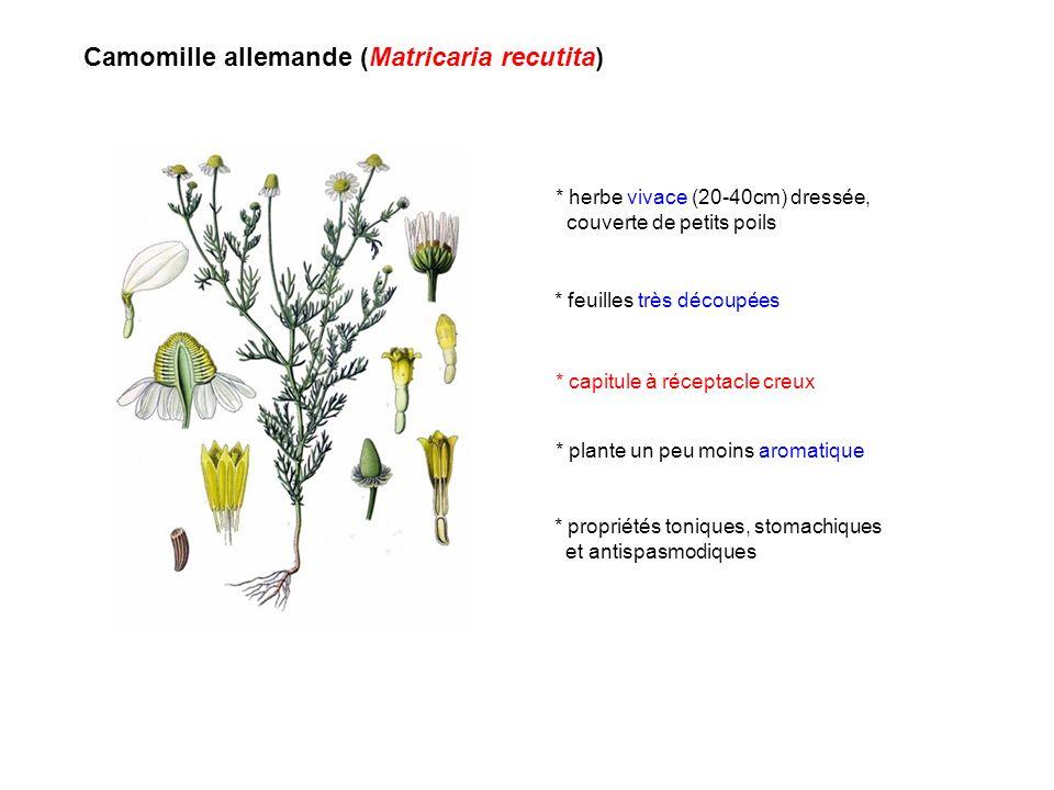 Camomille allemande (Matricaria recutita) * feuilles très découpées * capitule à réceptacle creux * plante un peu moins aromatique * herbe vivace (20-