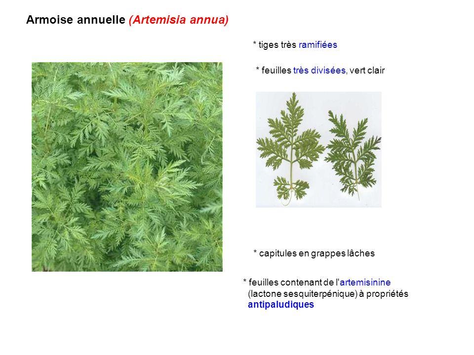 Armoise annuelle (Artemisia annua) * feuilles contenant de l'artemisinine (lactone sesquiterpénique) à propriétés antipaludiques * tiges très ramifiée
