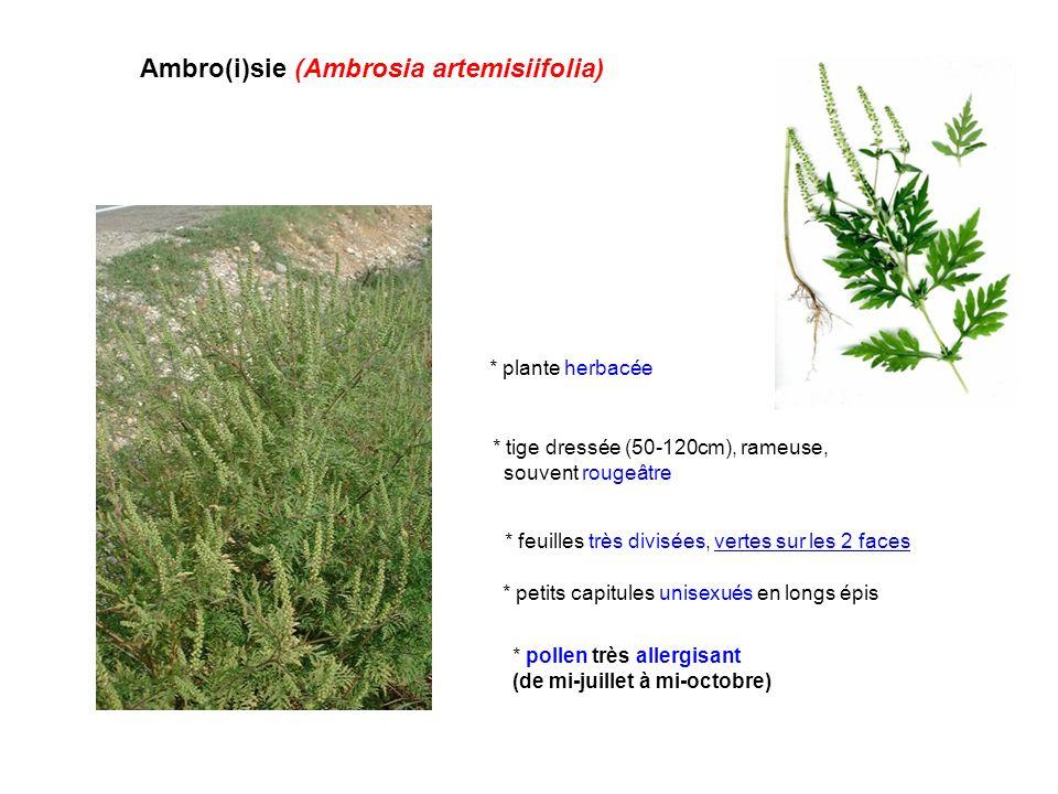 Ambro(i)sie (Ambrosia artemisiifolia) * pollen très allergisant (de mi-juillet à mi-octobre) * plante herbacée * tige dressée (50-120cm), rameuse, sou