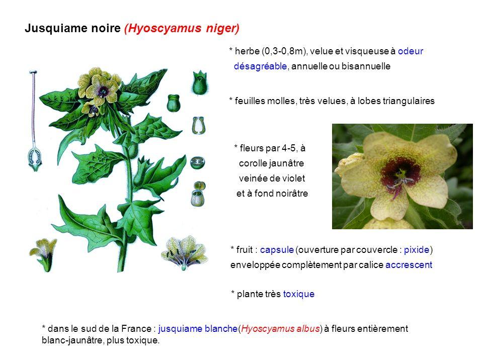 Jusquiame noire (Hyoscyamus niger) * herbe (0,3-0,8m), velue et visqueuse à odeur désagréable, annuelle ou bisannuelle * feuilles molles, très velues,