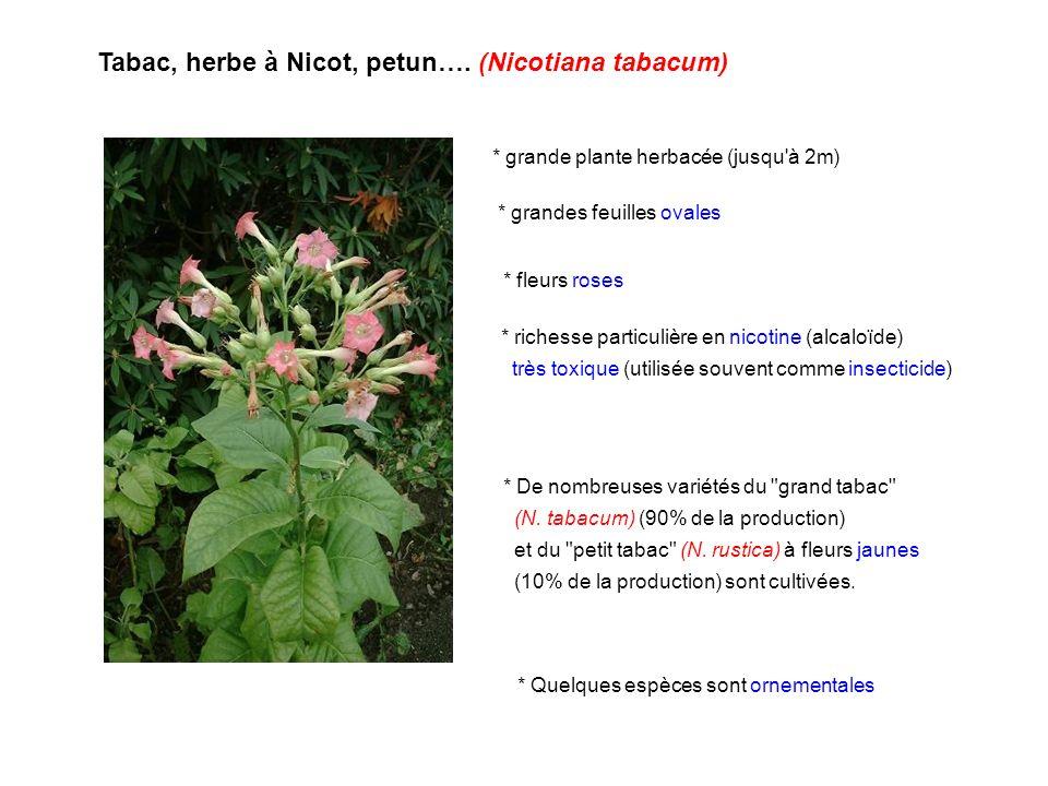 Tabac, herbe à Nicot, petun…. (Nicotiana tabacum) * De nombreuses variétés du