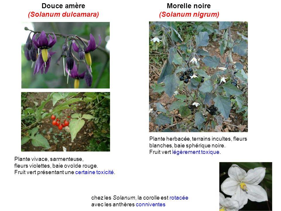 Douce amère (Solanum dulcamara) Morelle noire (Solanum nigrum) chez les Solanum, la corolle est rotacée avec les anthères conniventes Plante vivace, s