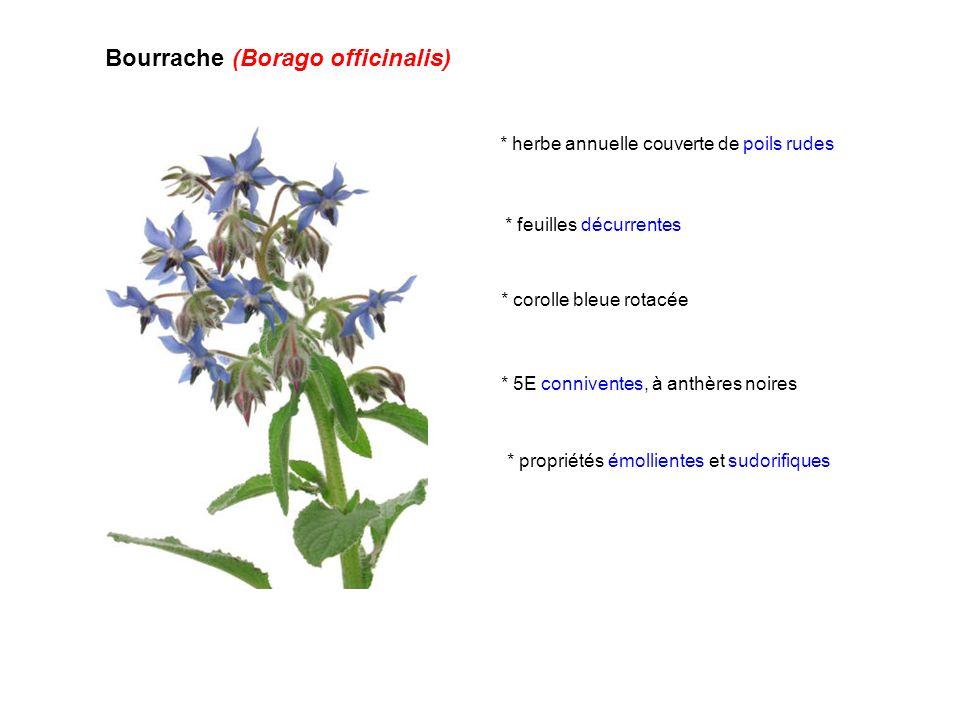 Bourrache (Borago officinalis) * herbe annuelle couverte de poils rudes * corolle bleue rotacée * 5E conniventes, à anthères noires * propriétés émoll