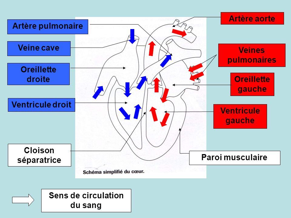 Artère pulmonaire Veine cave Oreillette droite Ventricule droit Cloison séparatrice Artère aorte Veines pulmonaires Oreillette gauche Ventricule gauch
