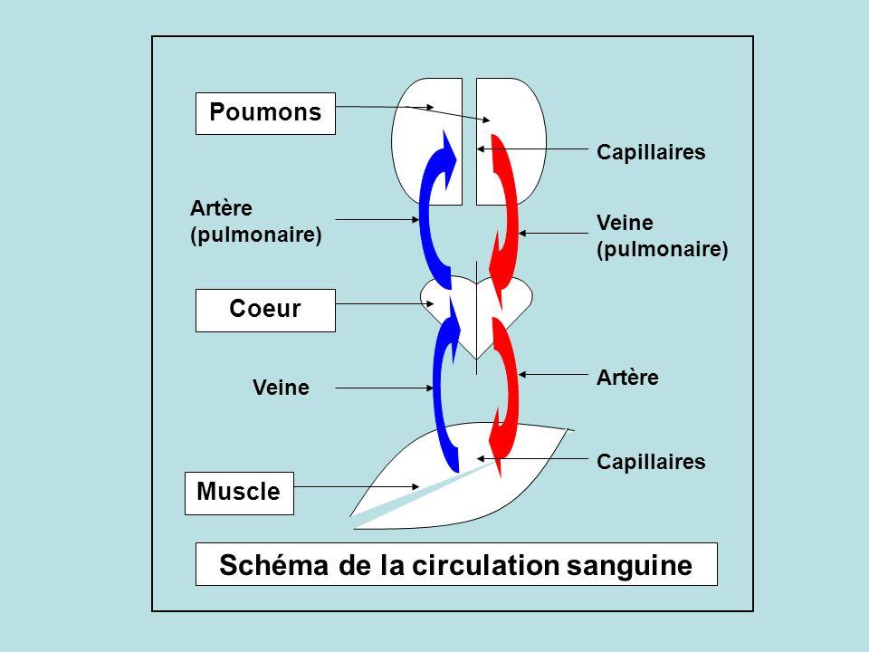 Coeur Poumons Muscle Schéma de la circulation sanguine Capillaires Veine (pulmonaire) Artère Veine Artère (pulmonaire)