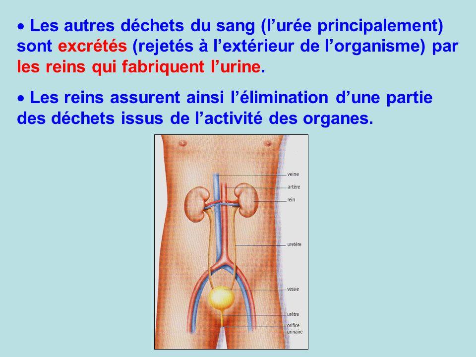 Les autres déchets du sang (lurée principalement) sont excrétés (rejetés à lextérieur de lorganisme) par les reins qui fabriquent lurine. Les reins as