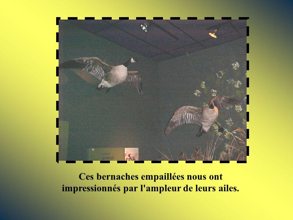 Ces bernaches empaillées nous ont impressionnés par l ampleur de leurs ailes.