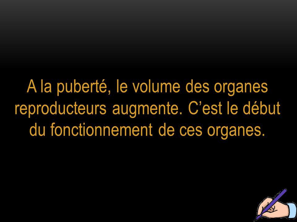 A la puberté, le volume des organes reproducteurs augmente. Cest le début du fonctionnement de ces organes.