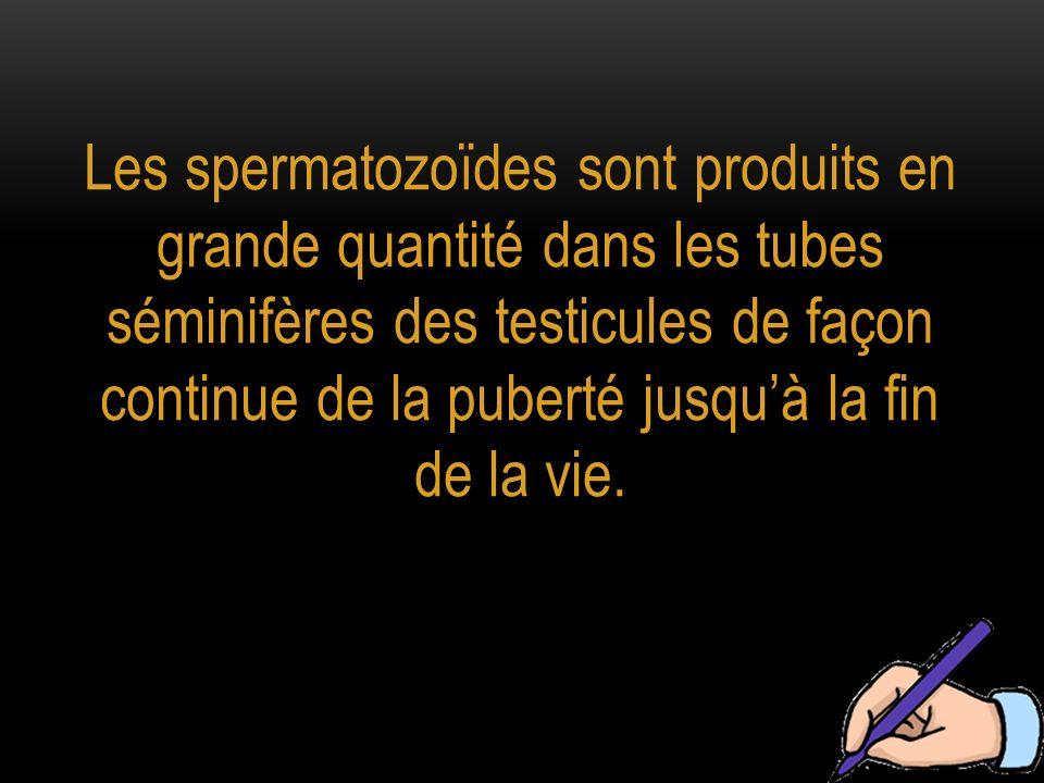 Les spermatozoïdes sont produits en grande quantité dans les tubes séminifères des testicules de façon continue de la puberté jusquà la fin de la vie.