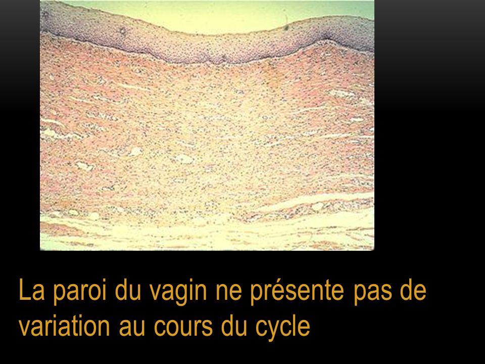 La paroi du vagin ne présente pas de variation au cours du cycle