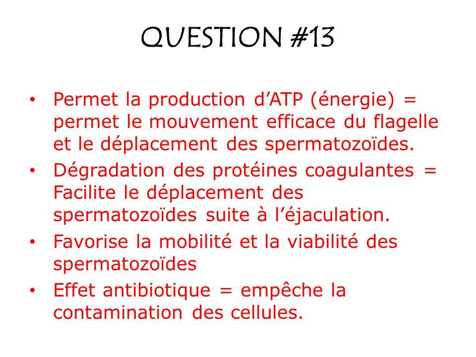 QUESTION #13 Permet la production dATP (énergie) = permet le mouvement efficace du flagelle et le déplacement des spermatozoïdes. Dégradation des prot
