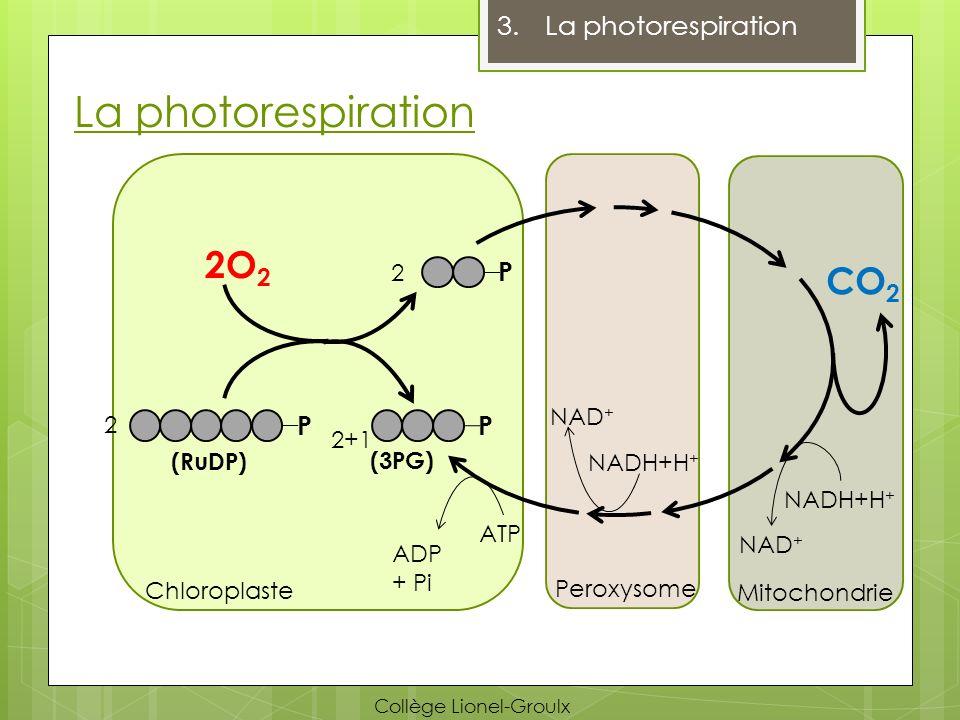 La photorespiration 3.La photorespiration P 2O 2 P (3PG) P CO 2 (RuDP) Chloroplaste Peroxysome Mitochondrie ATP ADP + Pi Collège Lionel-Groulx 2 2 2+1