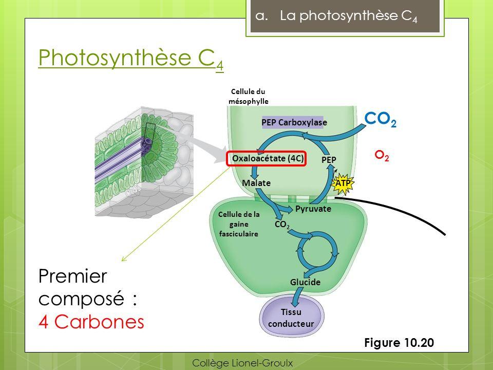 Photosynthèse C 4 a.La photosynthèse C 4 PEP Carboxylase CO 2 O2O2 Oxaloacétate (4C) Malate CO 2 PEP ATP Pyruvate Glucide Cellule de la gaine fascicul