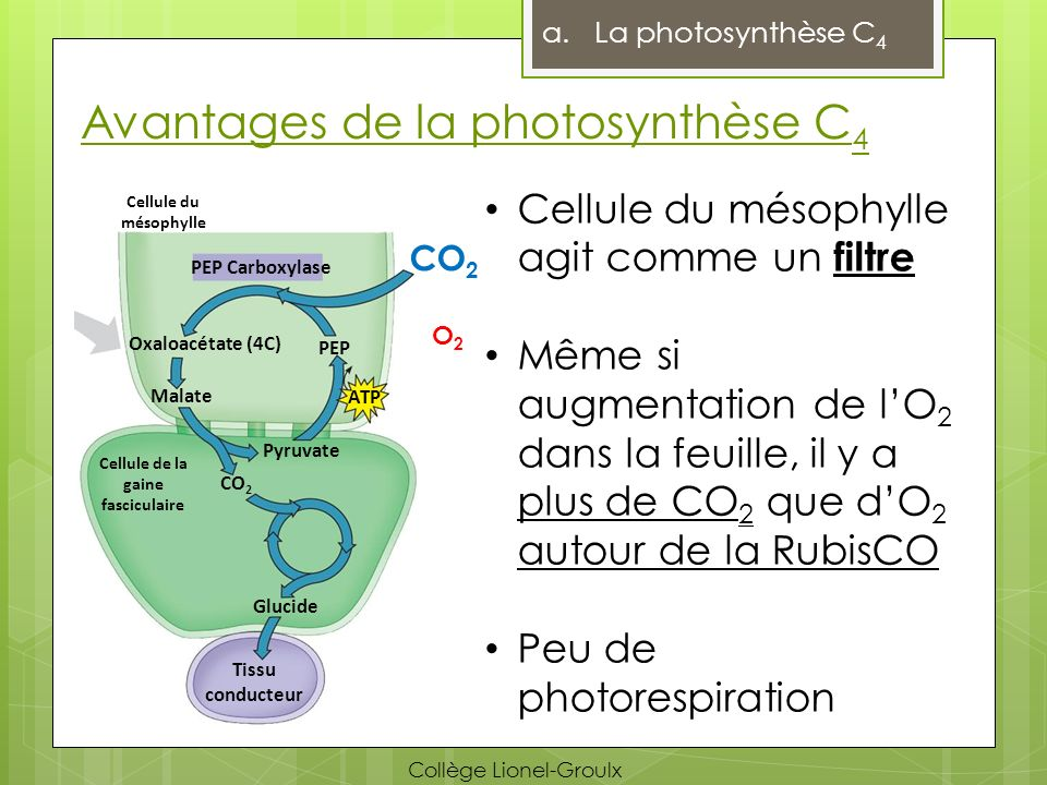 Avantages de la photosynthèse C 4 a.La photosynthèse C 4 Cellule du mésophylle agit comme un filtre Même si augmentation de lO 2 dans la feuille, il y a plus de CO 2 que dO 2 autour de la RubisCO Peu de photorespiration PEP Carboxylase CO 2 O2O2 Oxaloacétate (4C) Malate CO 2 PEP ATP Pyruvate Glucide Cellule de la gaine fasciculaire Tissu conducteur Cellule du mésophylle Collège Lionel-Groulx