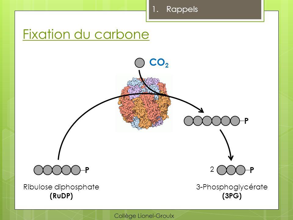Fixation du carbone P CO 2 P 2 P Ribulose diphosphate (RuDP) 3-Phosphoglycérate (3PG) 1.Rappels Collège Lionel-Groulx