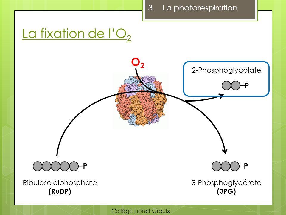 La fixation de lO 2 3.La photorespiration P O2O2 P Ribulose diphosphate (RuDP) 3-Phosphoglycérate (3PG) P 2-Phosphoglycolate Collège Lionel-Groulx