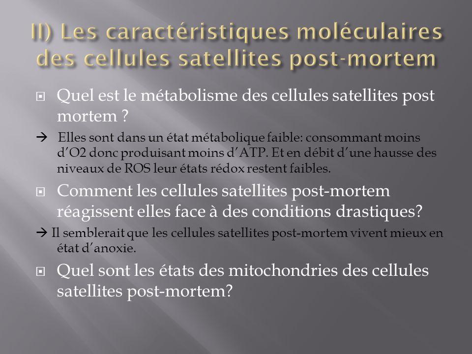 Quel est le métabolisme des cellules satellites post mortem ? Elles sont dans un état métabolique faible: consommant moins dO2 donc produisant moins d