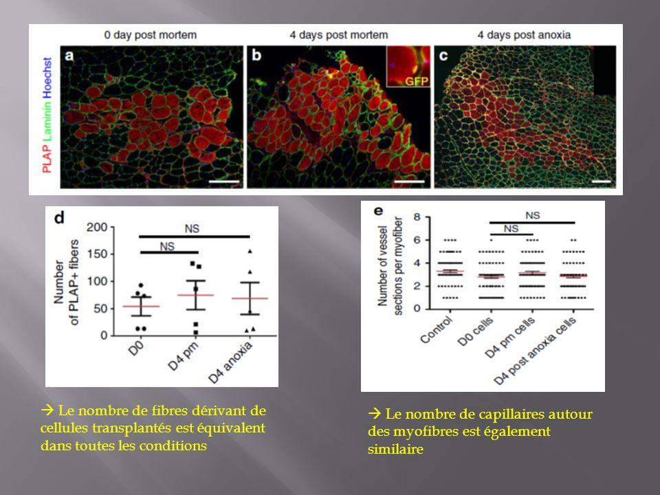 Le nombre de fibres dérivant de cellules transplantés est équivalent dans toutes les conditions Le nombre de capillaires autour des myofibres est égal