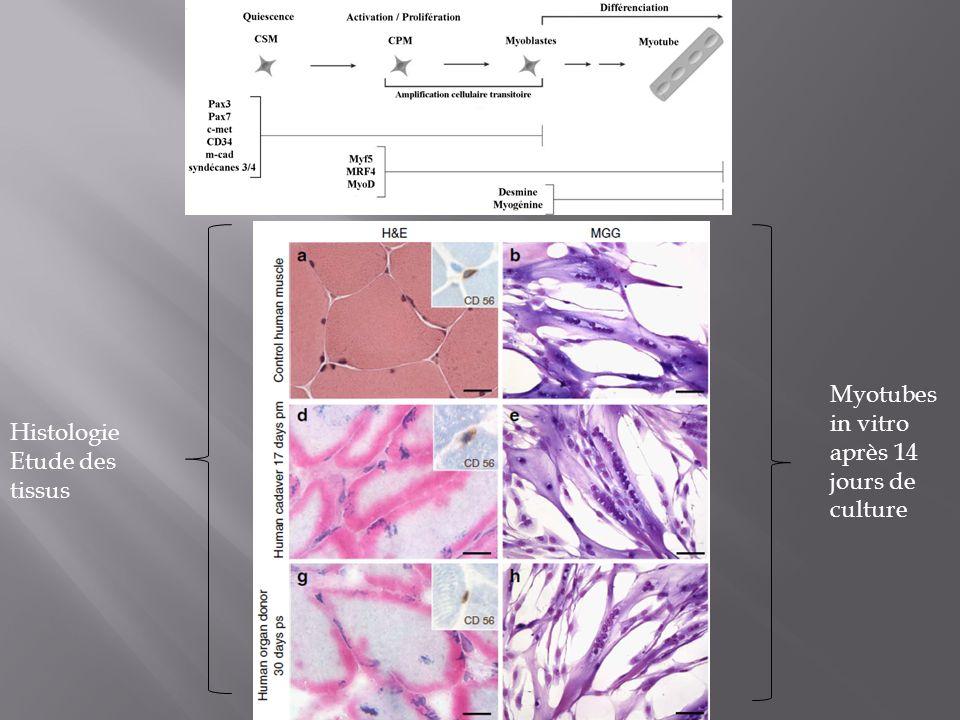 Histologie Etude des tissus Myotubes in vitro après 14 jours de culture