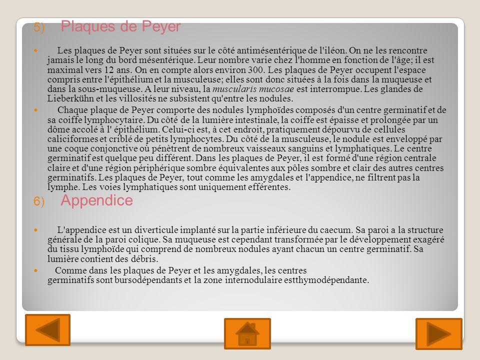 5) Plaques de Peyer Les plaques de Peyer sont situées sur le côté antimésentérique de l iléon.
