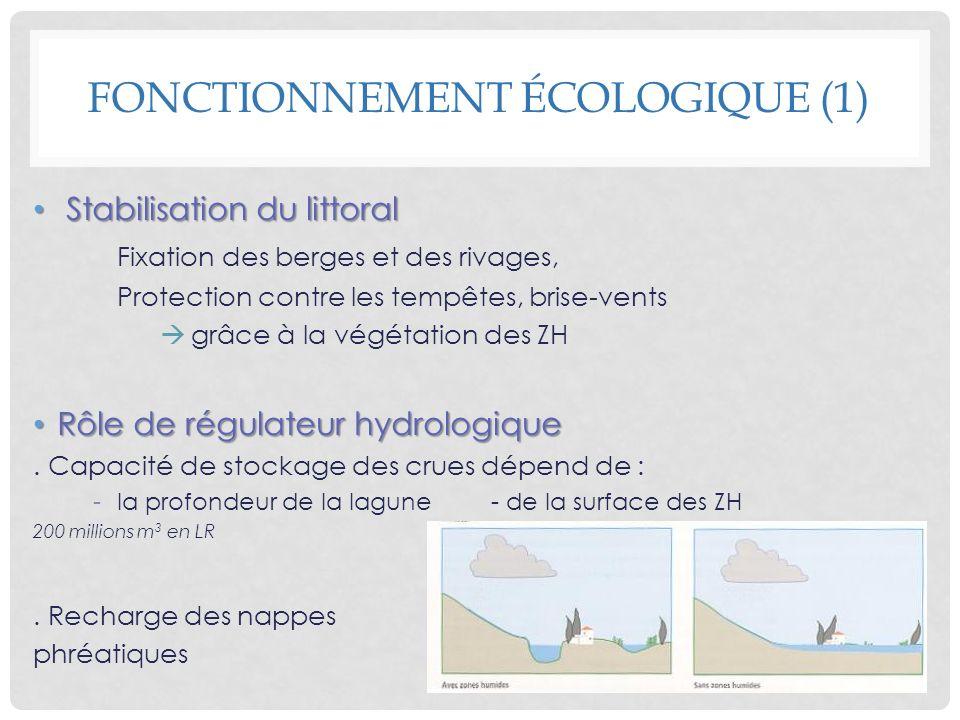 Stabilisation du littoral Stabilisation du littoral Fixation des berges et des rivages, Protection contre les tempêtes, brise-vents grâce à la végétat