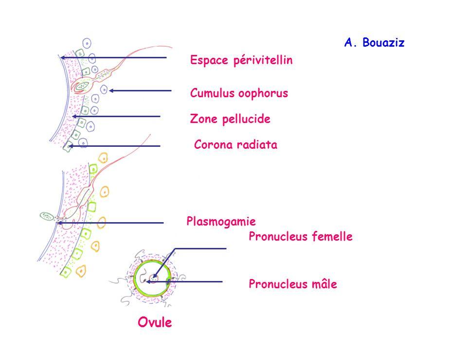 Espace périvitellin Zone pellucide Cumulus oophorus Corona radiata Ovule Pronucleus mâle Pronucleus femelle Plasmogamie A.