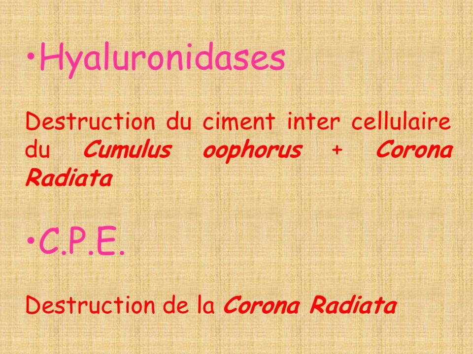 Hyaluronidases Destruction du ciment inter cellulaire du Cumulus oophorus + Corona Radiata C.P.E. Destruction de la Corona Radiata