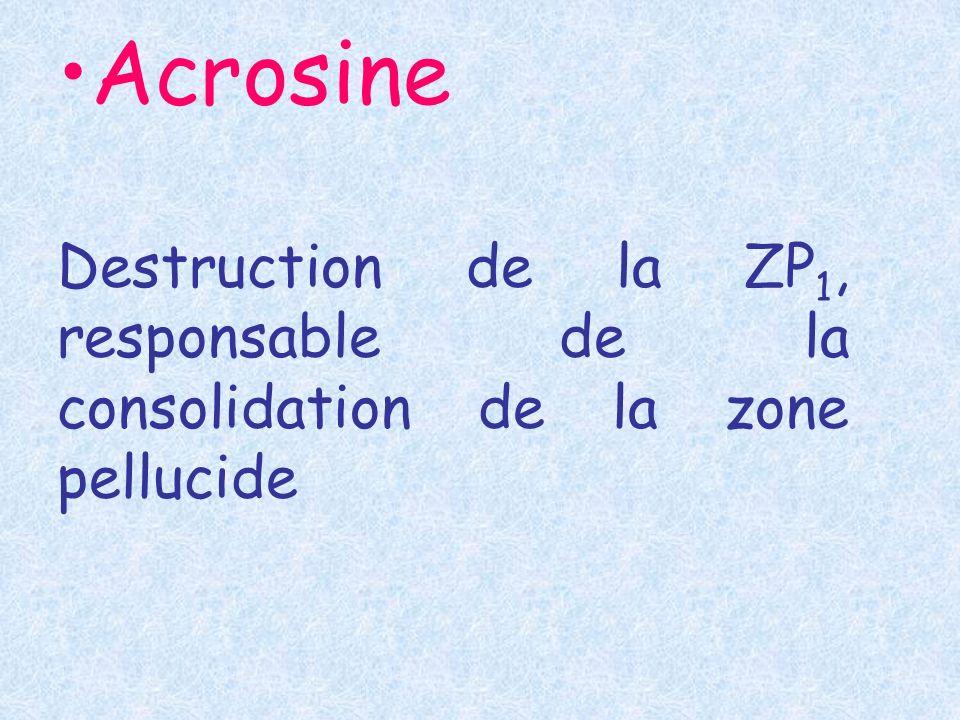 Acrosine Destruction de la ZP 1, responsable de la consolidation de la zone pellucide