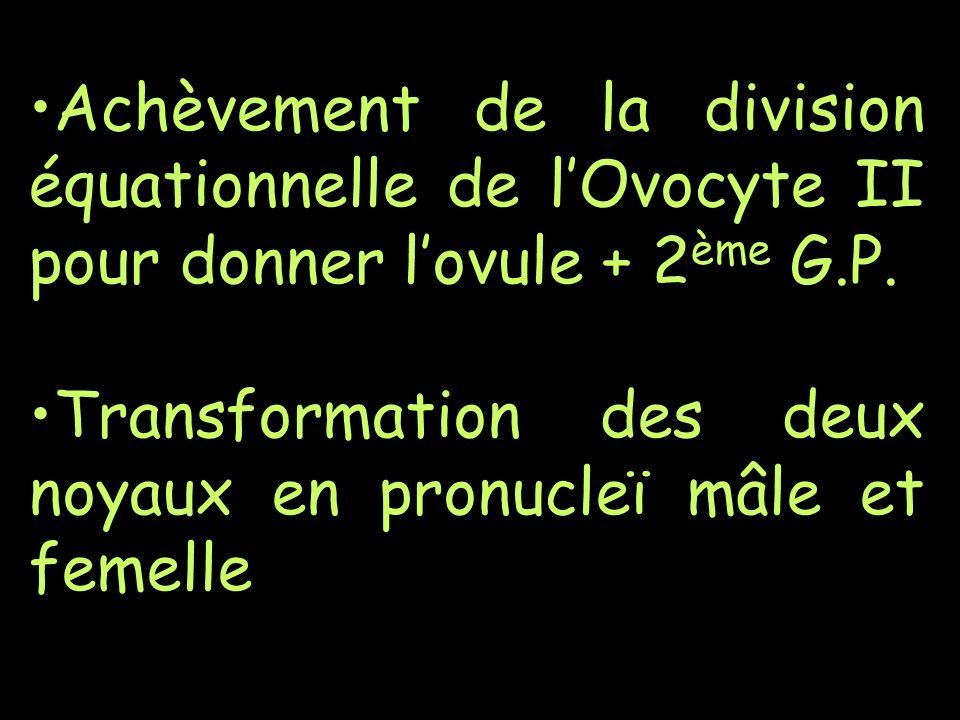 Achèvement de la division équationnelle de lOvocyte II pour donner lovule + 2 ème G.P. Transformation des deux noyaux en pronucleï mâle et femelle