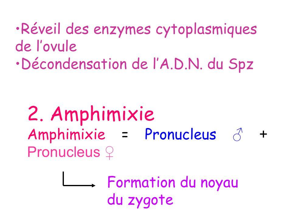 Réveil des enzymes cytoplasmiques de lovule Décondensation de lA.D.N. du Spz 2. Amphimixie Amphimixie = Pronucleus + Pronucleus Formation du noyau du