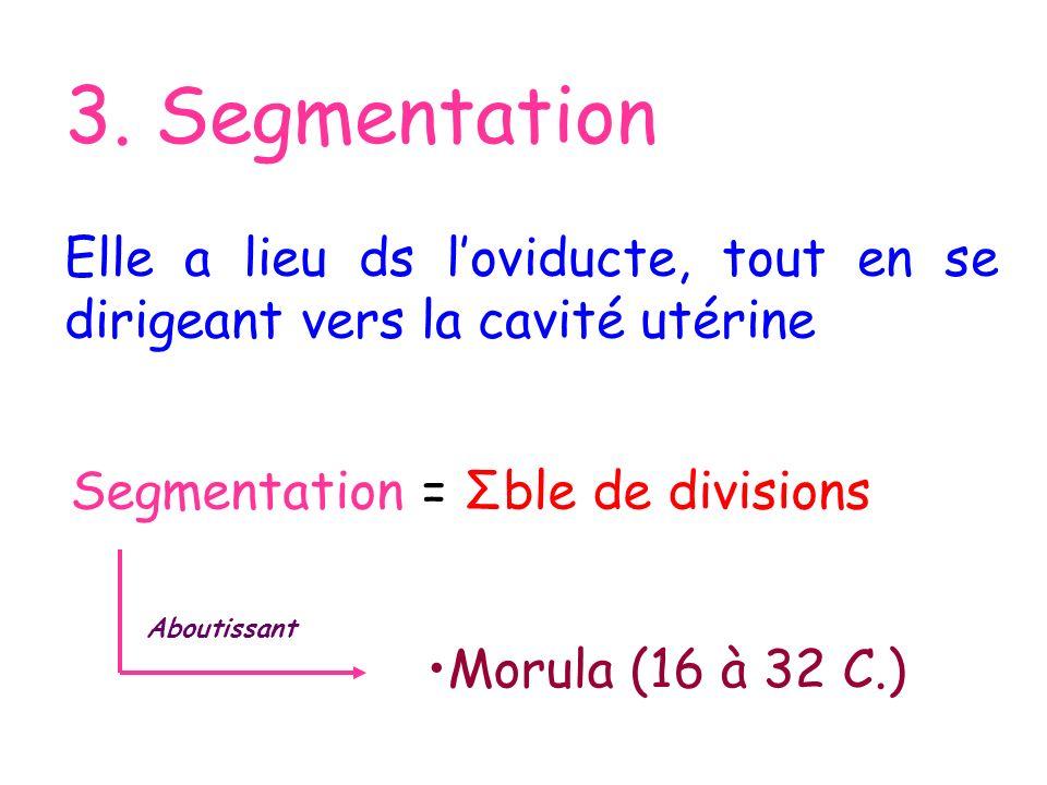 3. Segmentation Elle a lieu ds loviducte, tout en se dirigeant vers la cavité utérine Segmentation = Σble de divisions Aboutissant Morula (16 à 32 C.)