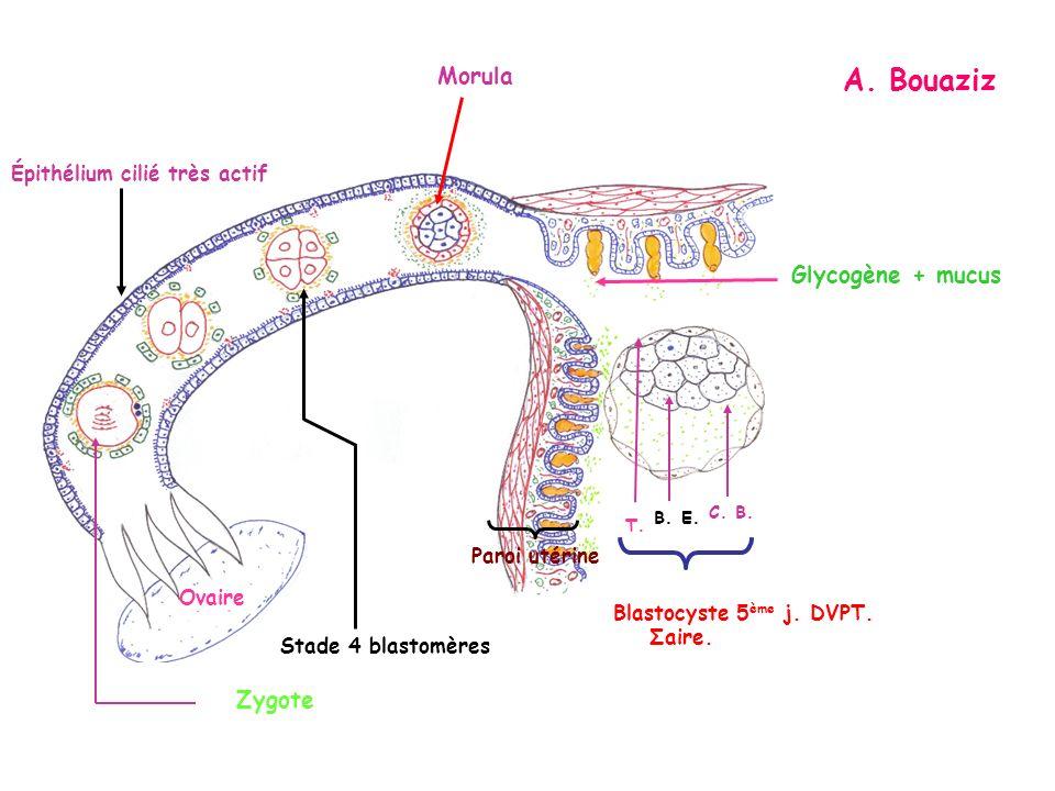 B. E. C. B. T. Blastocyste 5 ème j. DVPT. Σaire. Ovaire Paroi utérine Morula Épithélium cilié très actif Glycogène + mucus Stade 4 blastomères Zygote