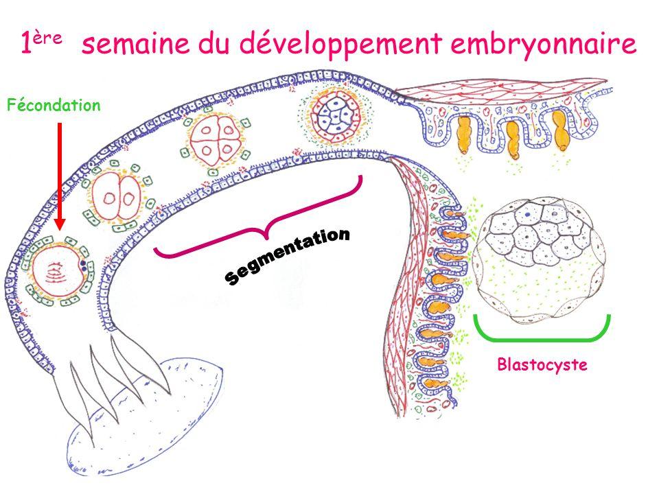 Fécondation Blastocyste 1 ère semaine du développement embryonnaire