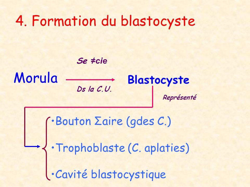 4. Formation du blastocyste Morula Se cie Ds la C.U. Blastocyste Bouton Σaire (gdes C.) Trophoblaste (C. aplaties) Cavité blastocystique Représenté